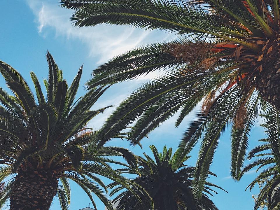 Planet coconut entretien palmier et conseils de culture for Entretien palmier exterieur