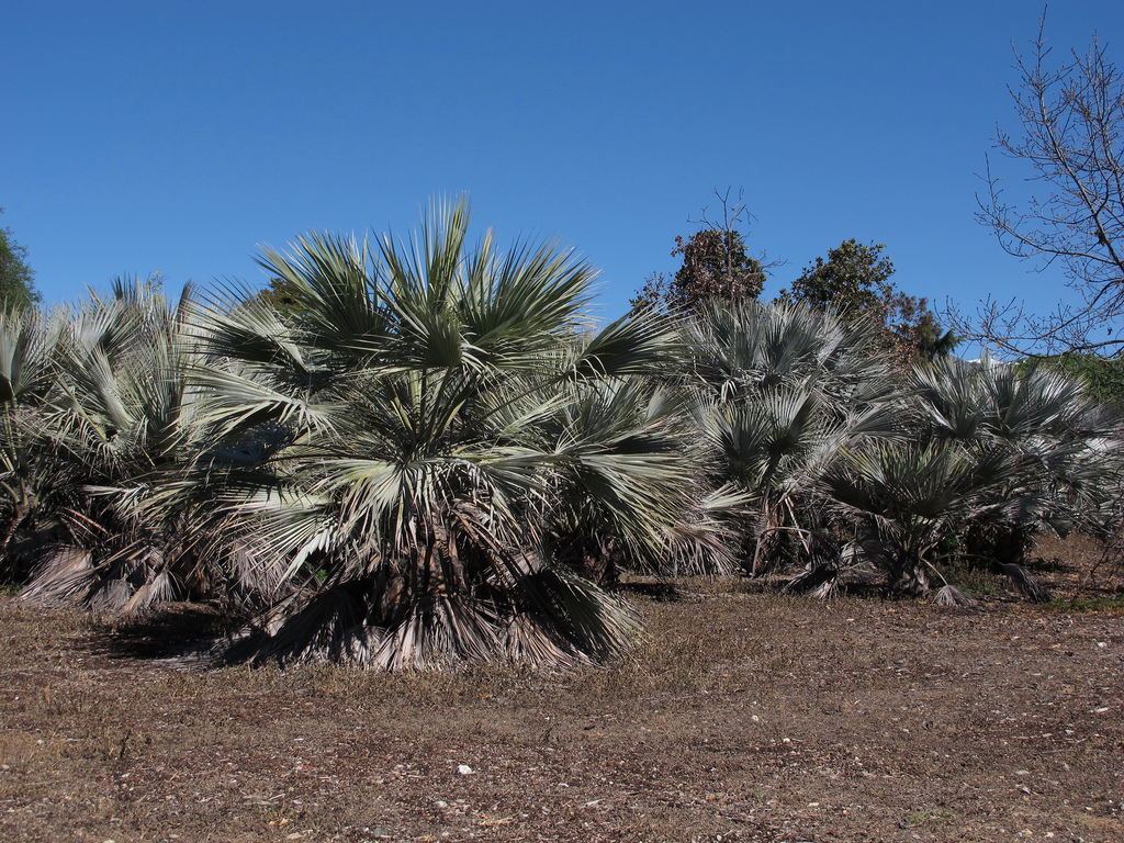 Palmier bleu du Mexique (Brahea armata)