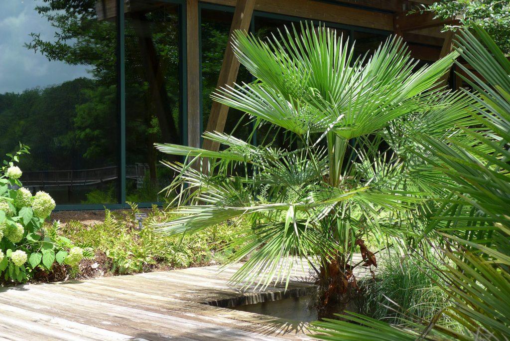 Palmier de Chine (Trachycarpus fortunei)